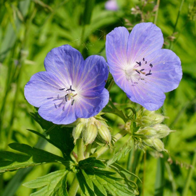 Geranium pratense de Robert Flogaus-Faust, CC BY 4.0, via Wikimedia Commons