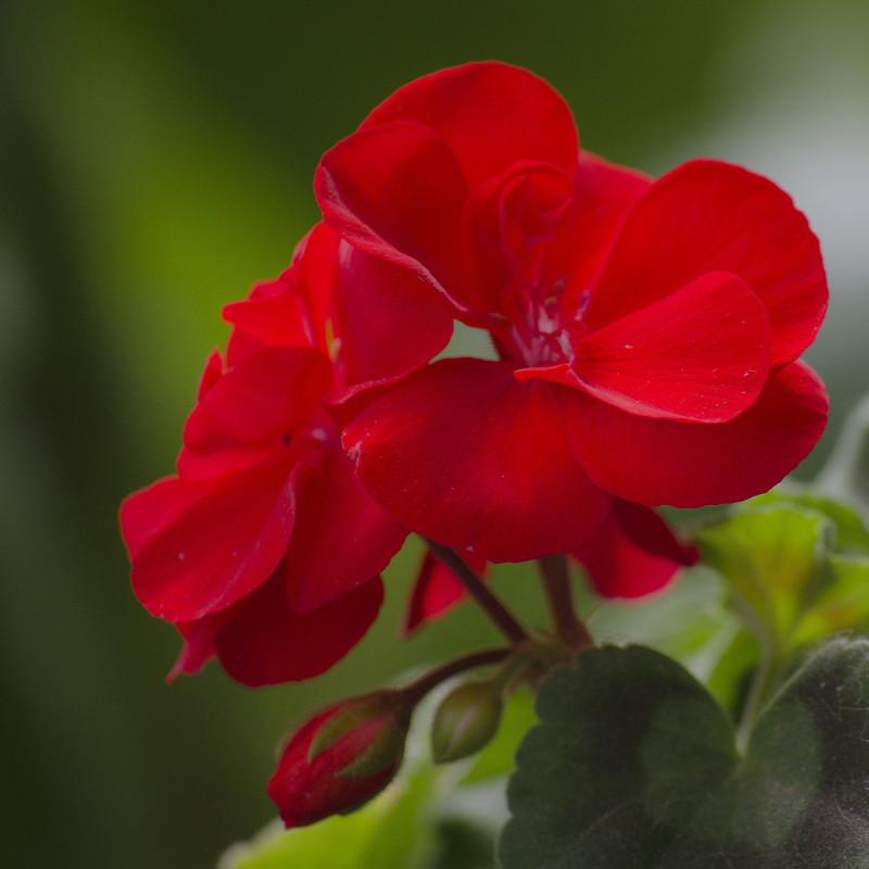 Pelargonium zonale par József Kincse de Pixabay
