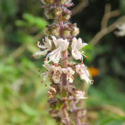 Ocimum basilicum de Vinayaraj, CC BY-SA 4.0  via Wikimedia Commons