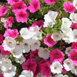 Petunia par Alicja de Pixabay
