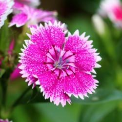 Dianthus chinensis telstar par manseok Kim de Pixabay