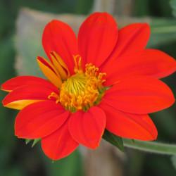Tithonia rotundifolia de Alejandro Bayer Tamayo from Armenia, Colombia, CC BY-SA 2.0, via Wikimedia Commons