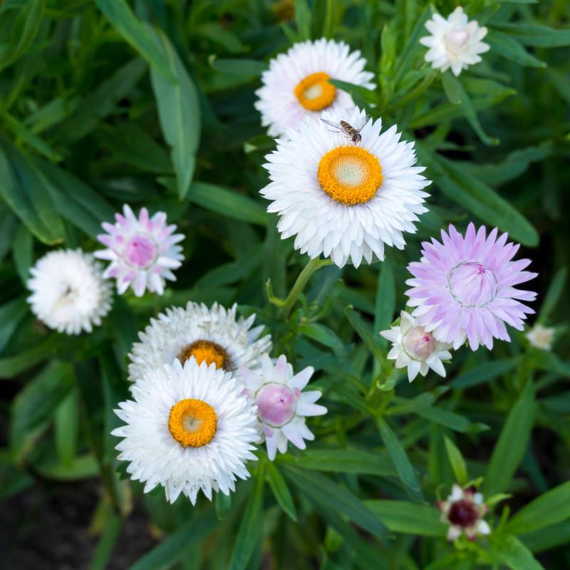 Helichrysum bracteatum de Plenuska, CC BY-SA 4.0, via Wikimedia Commons