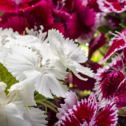 Dianthus barbatus par József Kincse de Pixabay