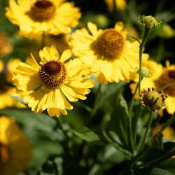 Helenium autumnale par Pezibear de Pixabay