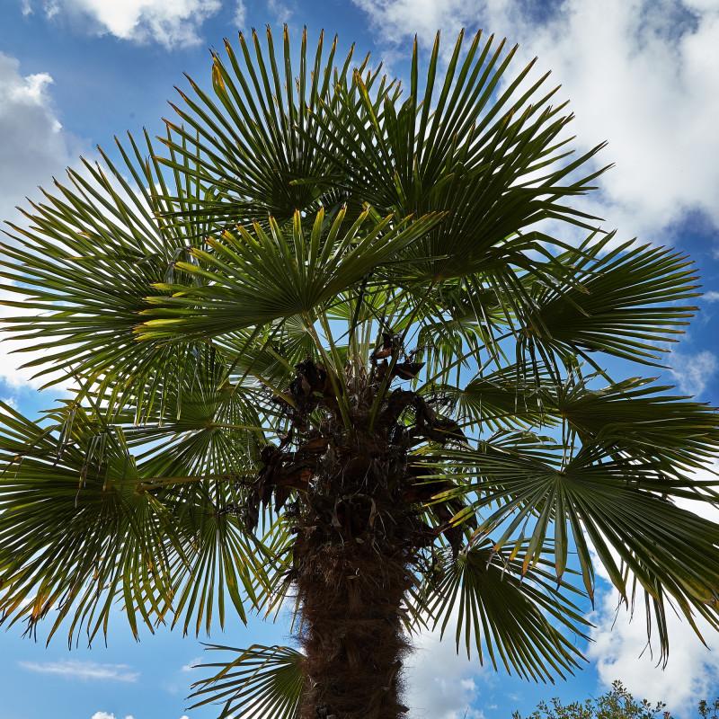 Trachycarpus fortunei par CT Johansson de Wikimedia commons