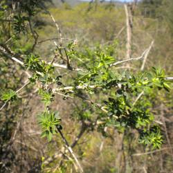 Adenocarpus complicatus par Balles2601 de Wikimedia commons