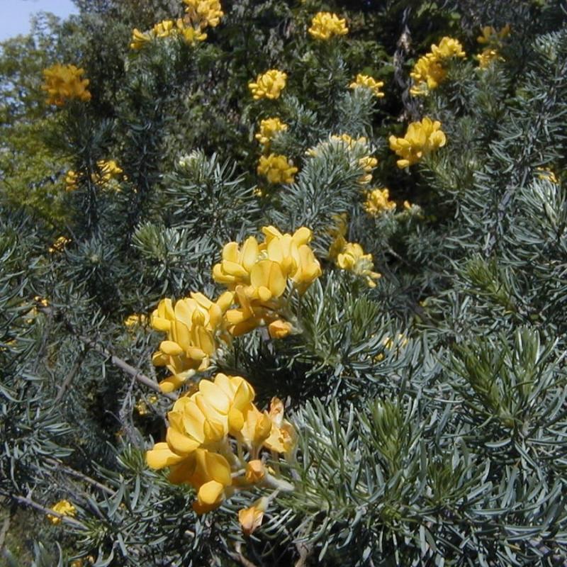 Adenocarpus decorticans par A. Barra de Wikimedia commons