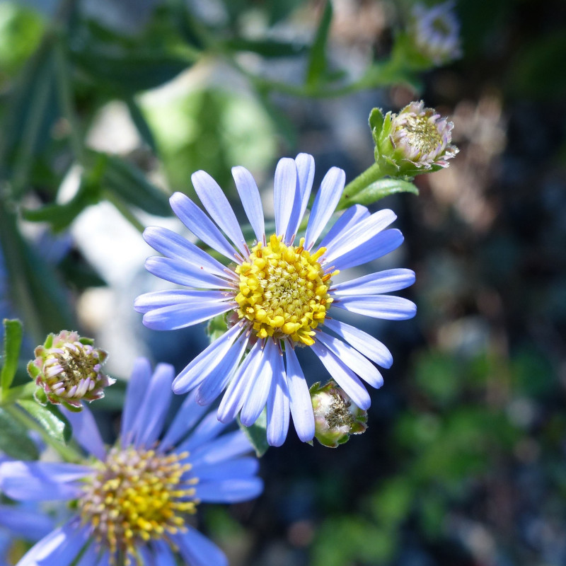 Aster amellus de Andrea Moro, CC BY-SA 4.0, via Wikimedia Commons