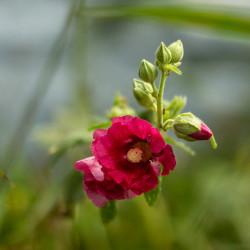 Alcea rosea par Kirsten Hughes de Pixabay
