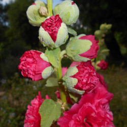 Alcea rosea cherters de Salicyna, CC BY-SA 4.0, via Wikimedia Commons