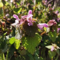 Lamium purpureum - Semences du Puy