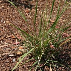 Eragrostis spectabilis de Tepeyac, Public domain, via Wikimedia Commons