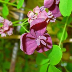 Akebia quinata par H. Zell de Wikimedia commons