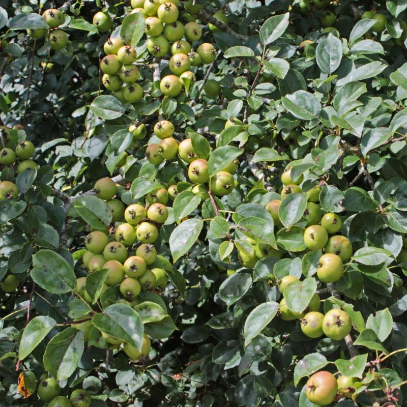 Malus sylvestris par Sten de Wikipedia commons