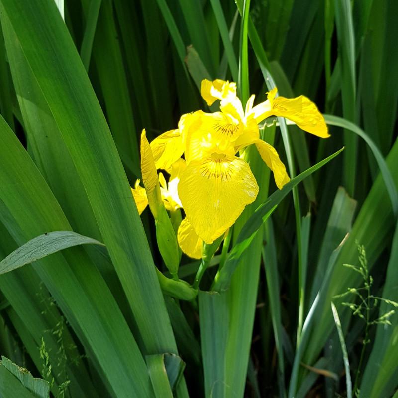 Iris pseudacorus Semences du Puy