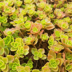 Sedum spurium par Je naturen de Wikimedia commons