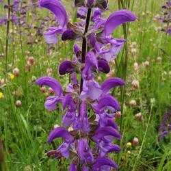 Salvia pratensis - Semences du Puy