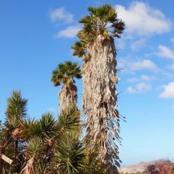 Washingtonia robusta par H. Zell de Wikimedia commons