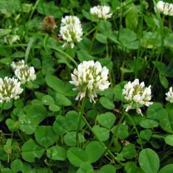 Trifolium repens de Algirdas, CC BY-SA 3.0, via Wikimedia Commons