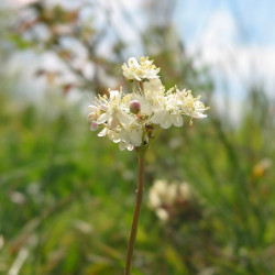 Filipendula vulgaris de Robert Flogaus-Faust, CC BY 4.0, via Wikimedia Commons