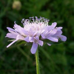 Knautia arvensis de AnemoneProjectors (d), CC BY-SA 2.0, via Wikimedia Commons