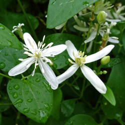 Clematis aristata de 阿橋 HQ, CC BY-SA 2.0, via Wikimedia Commons