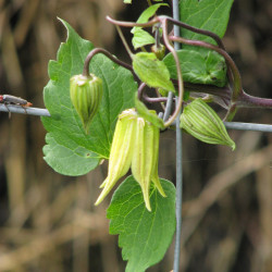 Clematis chiisanensis de peganum from Henfield, England, CC BY-SA 2.0, via Wikimedia Commons