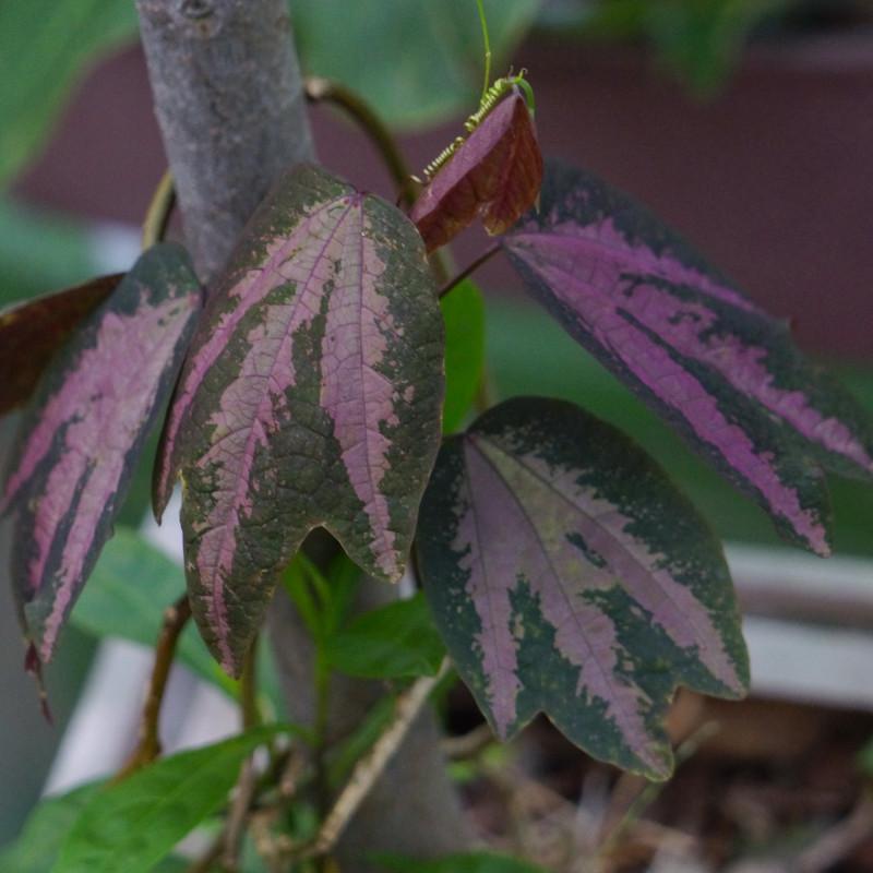 Passiflora trifasciata de Lienyuan lee, CC BY 3.0, via Wikimedia Commons