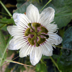 Passiflora foetida de Varinder Naturaphile, CC BY-SA 4.0, via Wikimedia Commons