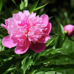 Paeonia lactiflora par Elstef de Pixabay