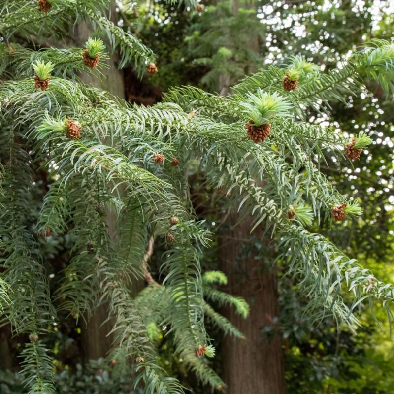 Cunninghamia lanceolata de Σ64, CC BY 4.0, via Wikimedia Commons