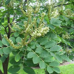 Maackia Amurensis par Chhe de Wikimedia commons