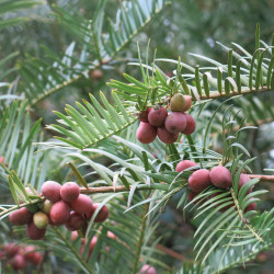 Cephalotaxus fortunei de Tangopaso, Public domain, via Wikimedia Commons