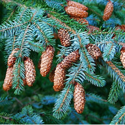 Picea sitchensis de geograph.org.uk Anne Burgess,Fir Cones, CC BY-SA 2.0, via Wikimedia Commons