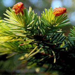 Picea sitchensis de Hedwig Storch, CC BY-SA 3.0, via Wikimedia Commons