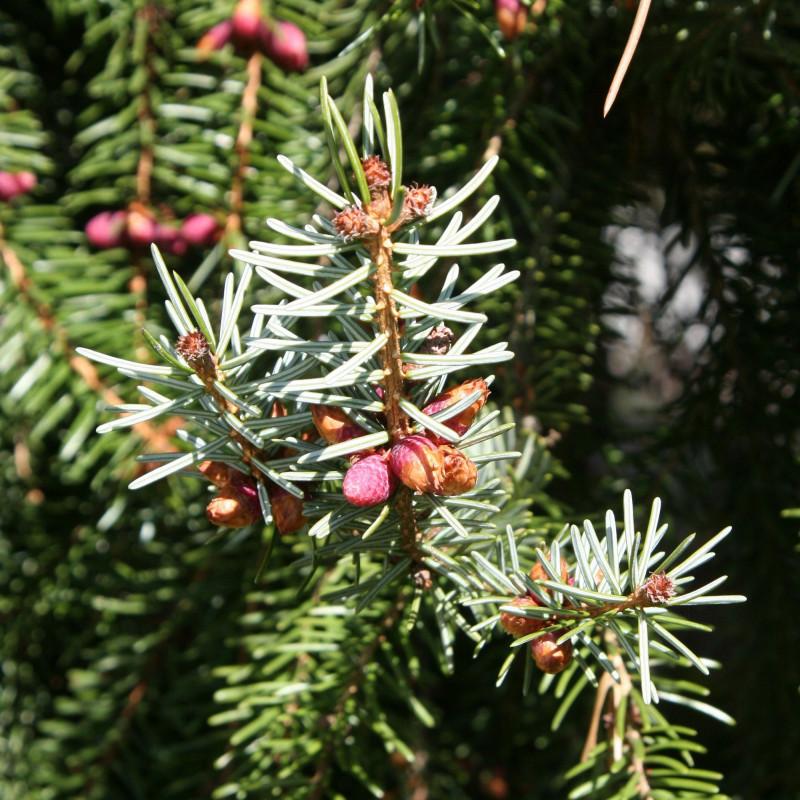 Picea omorika de Rosenzweig, CC BY-SA 3.0, via Wikimedia Commons