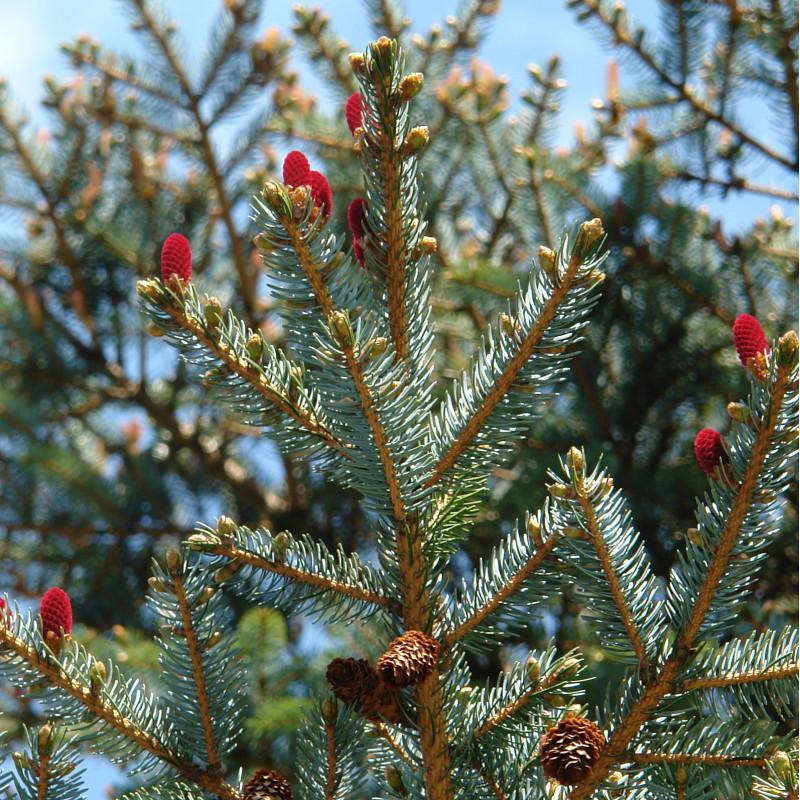 Picea jezoensis de cogito ergo imago from Rumson, NJ, CC BY-SA 2.0, via Wikimedia Commons