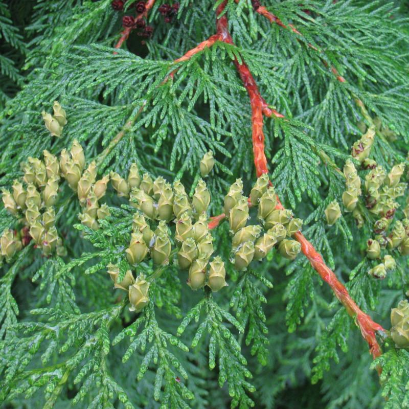 Thuja plicata par Daderot de Wikimedia commons
