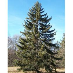 Picea koyamai de Bruce Marlin, CC BY-SA 3.0, via Wikimedia Commons