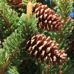 Pinus longaeva de Dcrjsr, CC BY-SA 3.0, via Wikimedia Commons