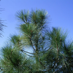 Pinus canariensis de Frank Vincentz, CC BY-SA 3.0, via Wikimedia Commons