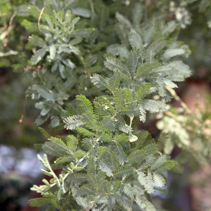 Acacia baileyana Purpurea de David J. Stang, CC BY-SA 4.0, via Wikimedia Commons