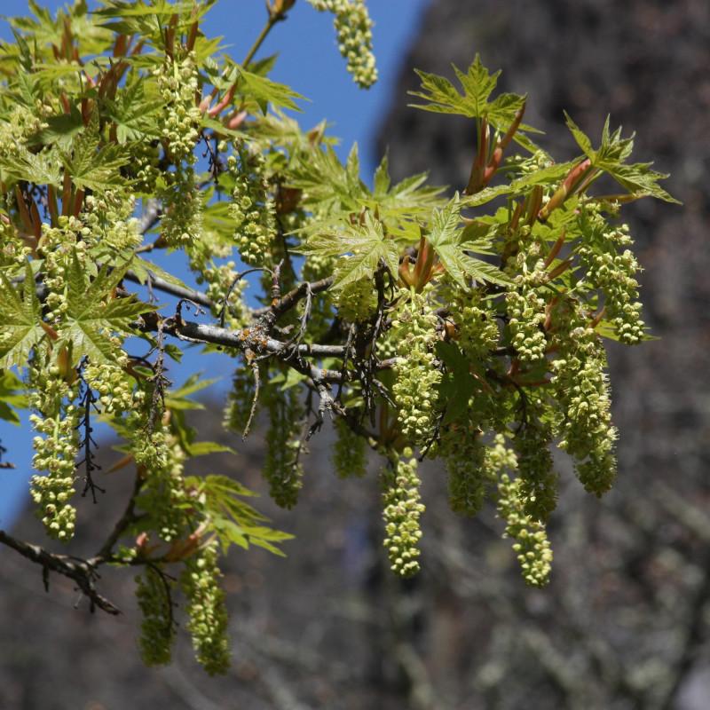 Acer macrophyllum de Walter Siegmund, CC BY-SA 3.0, via Wikimedia Commons