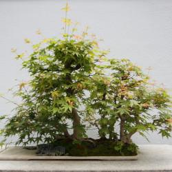 Acer palmatum matsumurae de Cephas, CC BY-SA 3.0, via Wikimedia Commons