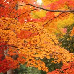 Acer japonicum de mrhayata, CC BY-SA 2.0, via Wikimedia Commons