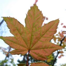 Acer circinatum de Thayne Tuason, CC BY-SA 4.0, via Wikimedia Commons
