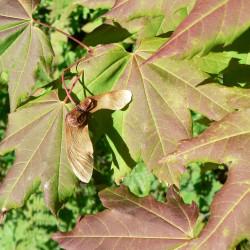 Acer circinatum de Walter Siegmund, CC BY-SA 3.0 via Wikimedia Commons