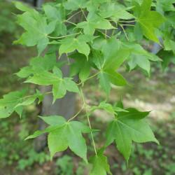 Acer oliverianum de Kenraiz, Krzysztof Ziarnek, CC BY-SA 4.0, via Wikimedia Commons