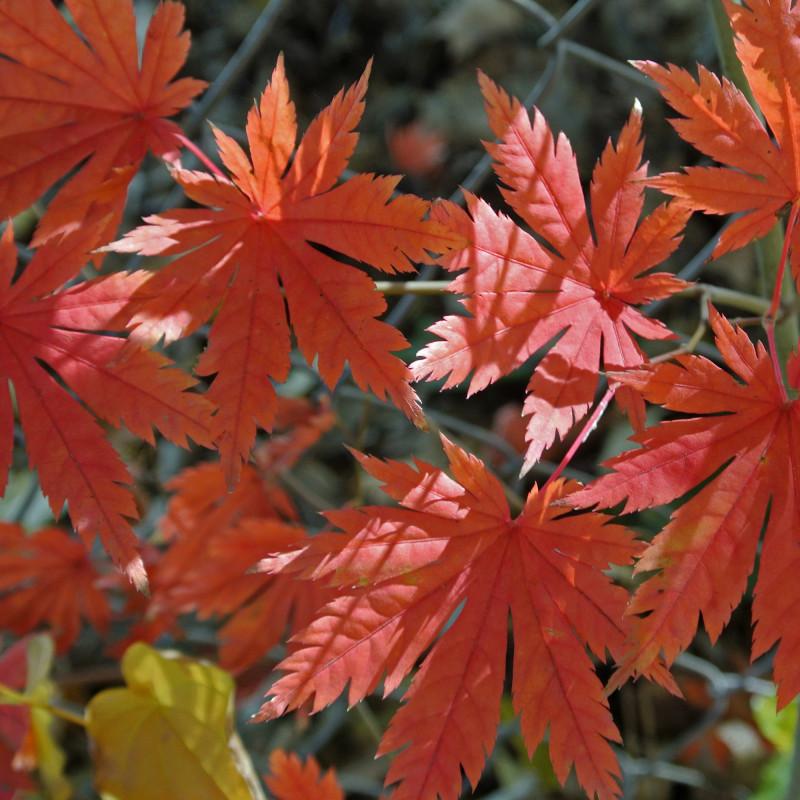 Acer pseudosieboldianum de James Steakley, CC BY-SA 3.0, via Wikimedia Commons